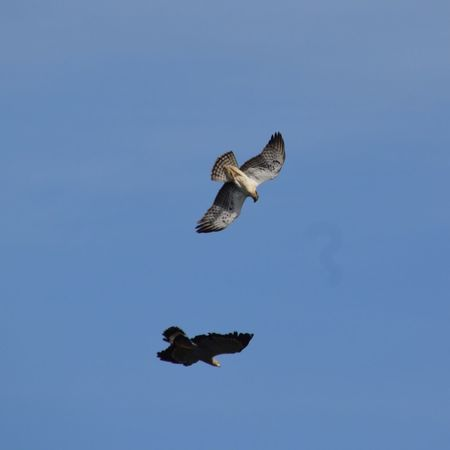 Dogfight Battle Hawk Eagle Raptor Africa Sierra Leone It looked like a classic dogfight between two fighter planes, dodging, diving, countering until finally they broke off and went their separate ways.