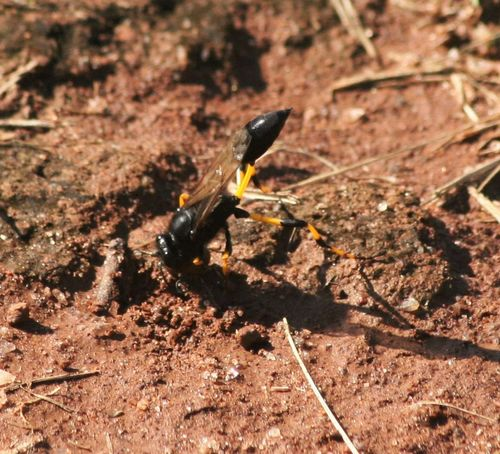 Black And Yellow  Insect Photography Insects  Nest Nest Building South Africa South Africa Insects Wasp Wasp At Work Wasp Macro Wasps Nest Yellow In Nature Yellow Insect