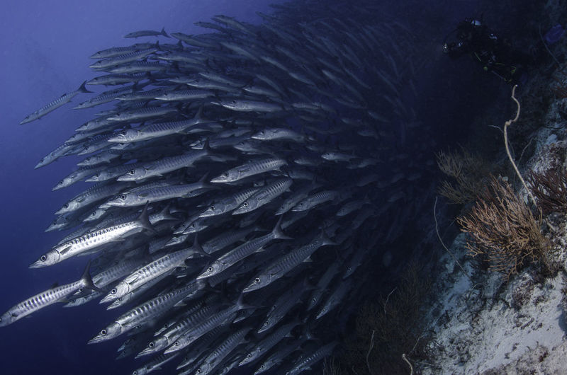 Large school of barracuda fishes in an Indonesian diving destination. ASIA Bucketlist Diving Holiday INDONESIA Scuba Diving Snorkeling Adventure Animal Themes Barracuda Dive Destination Diver Fish Fish And Diver Fishes Holi Large Group Of Animals Ocean Sea Sea Life Travel Destination Travel Destinations Underwater Underwater Photography Water