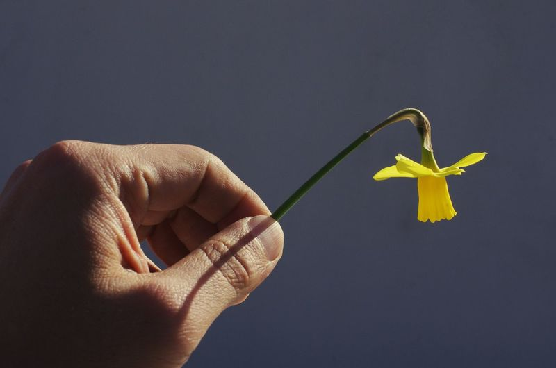 Cropped Image Of Man Holding Daffodil Against Sky