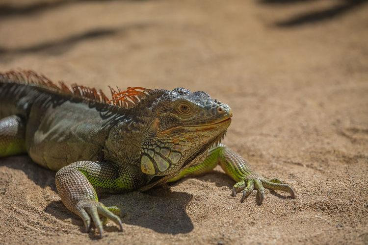 Close-up of iguana on ground