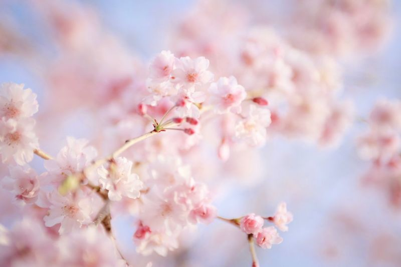 Flower Flowering Plant Plant Fragility Pink Color Beauty In Nature Freshness Vulnerability  Tree Blossom Springtime Close-up Cherry Blossom Growth Nature Branch Cherry Tree No People Day Petal