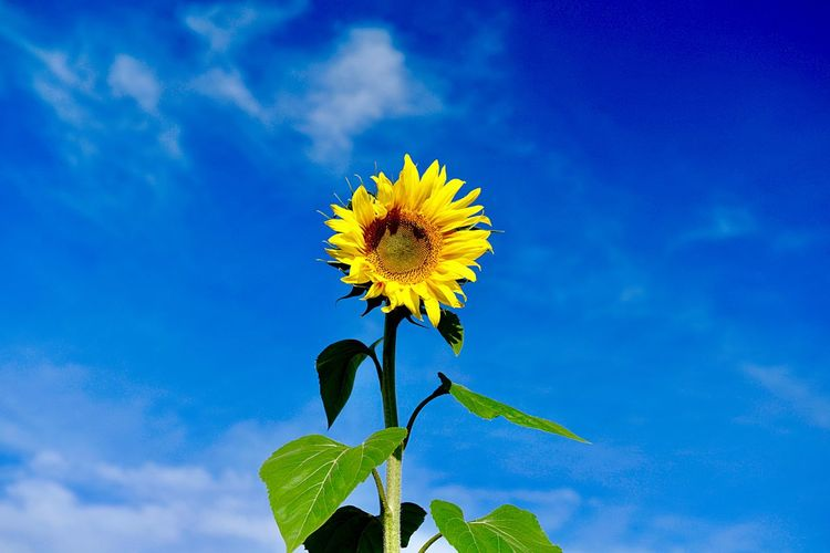 Outdoors Plant Flower Flowering Plant Growth Freshness Beauty In Nature Blue Nature Sky Fragility Vulnerability  Flower Head Leaf Yellow Inflorescence Sunflower Low Angle View Plant Part Close-up Petal
