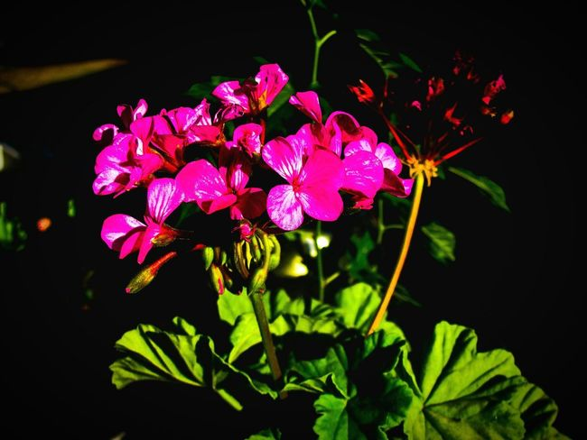 geranium at night Pink Pink Flower Geranium Night Garden Garden Photography Night Photography Flower Black Background Pink Color Flower Head Close-up Plant