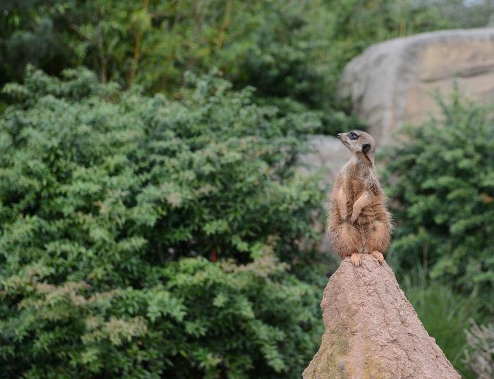 Cute alert brown meerkat on a rock