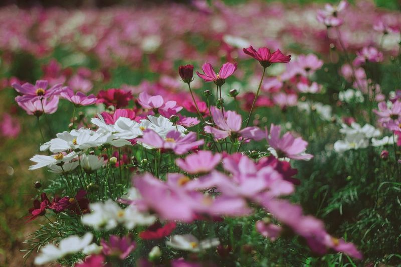 Flower Flower Pink Color Nature Plant Beauty In Nature No People Outdoors