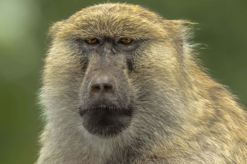The Baboon.