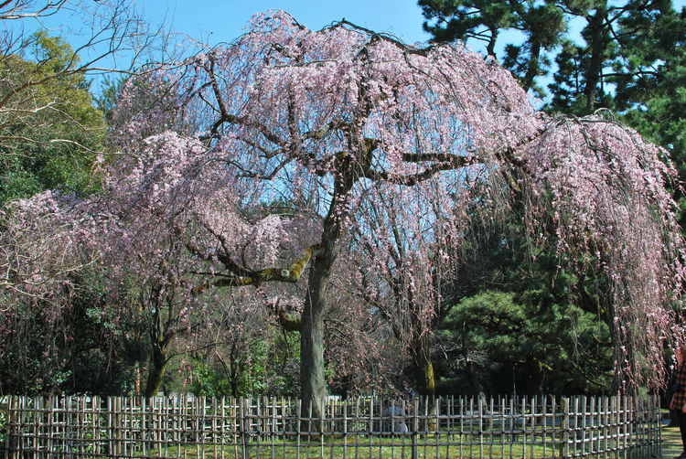 Big Cherry Tree Cherry Tree Cherryblossoms Kyoto Imperial Palace Pink Blossoms Pink Cherry Blossoms Sakura Urban Spring Fever Ultimate Japan