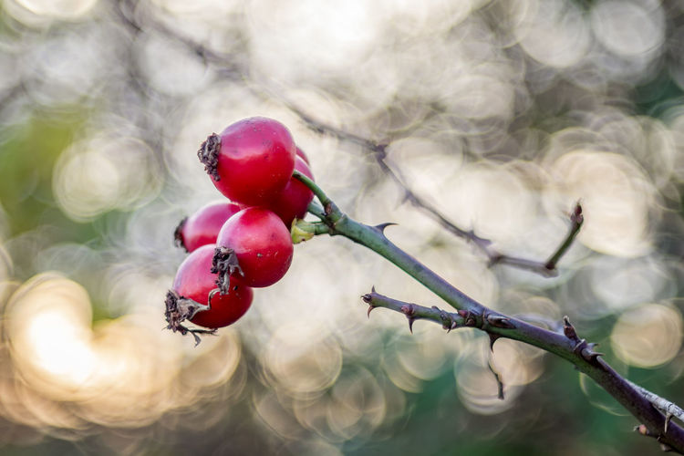 Hagebutten Hagebutte  Old Lens Photo Rose Hip Beauty In Nature Close-up Focus On Foreground Food Food And Drink Frucht Fruit Fruits Früchte Growth Hagebutten Hagebuttenblüte Nature No People Old Lens Outdoors Red Rose - Flower Rose Hip Rot Tree