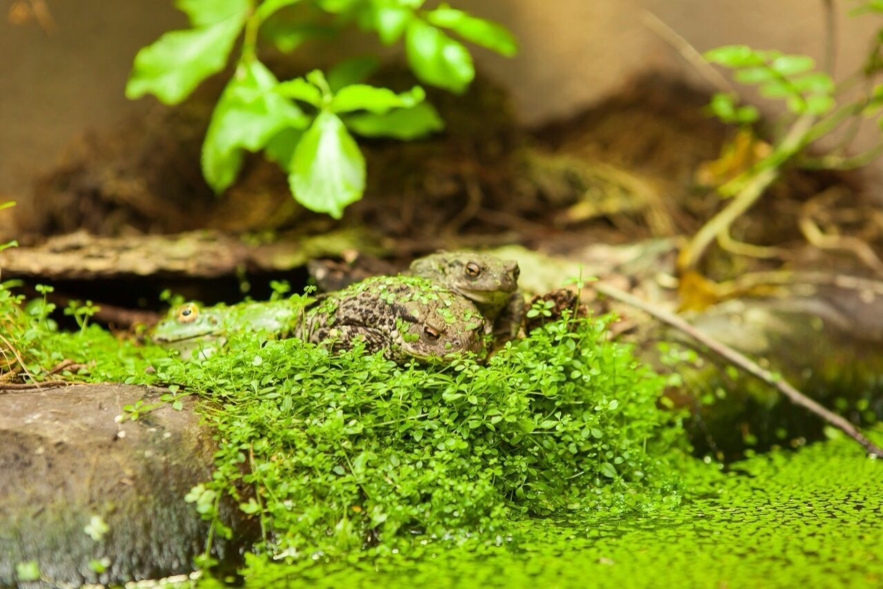 Frogs On Moss Covered Rock By Pond