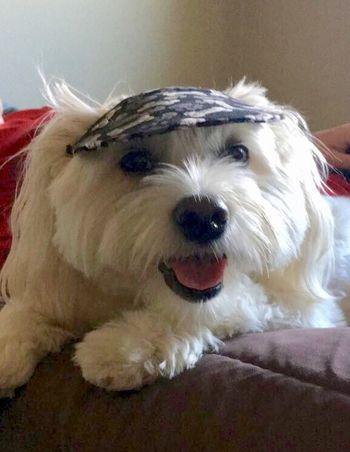 Dog 🐕 pet close up rocking his hat! Looking at the camera smiling!!