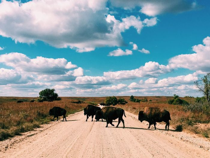 American bison on dirt road