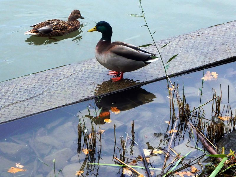 Am Mittellandkanal In Hannover Reflection Bird Animals In The Wild Animal Themes Animal Wildlife Tranquility Cold Temperature Wintertime ⛄ For My Friends 😍😘🎁 Beauty In Nature Natural Beauty Tranquil Scene Outdoors Ducks ❤ Togetherness Favorite Places