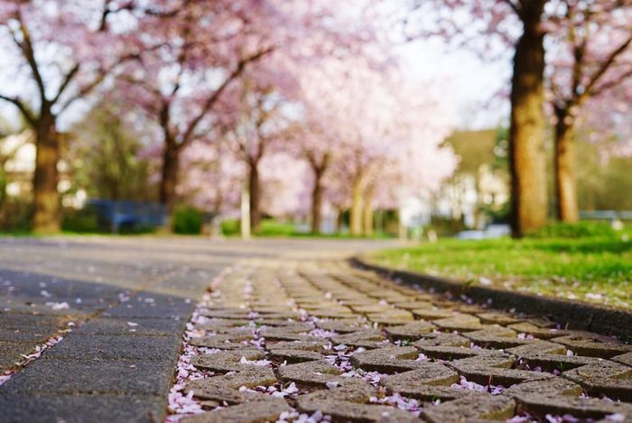Spring Springtime Springtime Blossoms Tree In A Row No People Outdoors Nature Tranquility Day The Way Forward Beauty In Nature Close-up Cherry Tree Cherry Blossoms Rose - Flower Rose Tree Streetphotography Street
