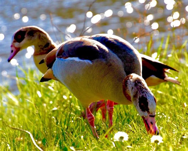 Bird Photography Nilgänse Landscape #Nature #photography Nature Photography Germany Saaruferkanal Egyptian Geese Geese Photography EyeEm Best Shots EyeEm Gallery