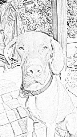 Dogs Of EyeEm Dogslife Dog❤ Magyar Vizsla EyeEm Gallery Black And White Collection  Best Friend Hungarian Vizsla Ijuma Von Terra Lebusana Vizslaoftheday Eye4photography  Dog Of The Day