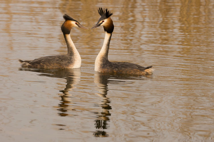 Great Crested Grebe Courtship Love Sunny Affectionate Animal Wildlife Animals In The Wild Bird Courtship Behavior Day Display Grebe Mating Dance Mating Pair Of Bird Mating Season Nature No People Outdoors Reflection Swimming Togetherness Two Animals Water Water Bird