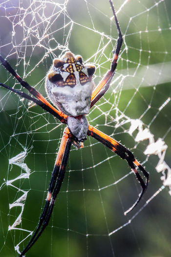 Huge Texas Garden Spider. Skulltula!Check This Out Nature EyeEm Nature Lover Spiderweb Arachnid Arachnophobia Garden Spider S Macro Macro_collection Macro Photography Samsungphotography Long Legs Skulltula Gods Creation