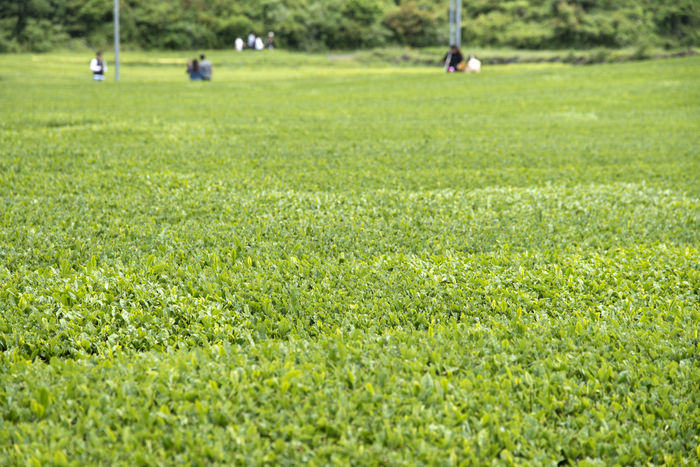 rural landscape of green tea field at Osulloc in Jeju Island Adult Adults Only Day Field Golf Golf Club Golf Course Golfer Grass Green - Golf Course Green Color Green Tea Green Tea Field Growth Human Body Part JEJU ISLAND  Leisure Activity Low Section Nature One Person Osulloc Outdoors People Sport