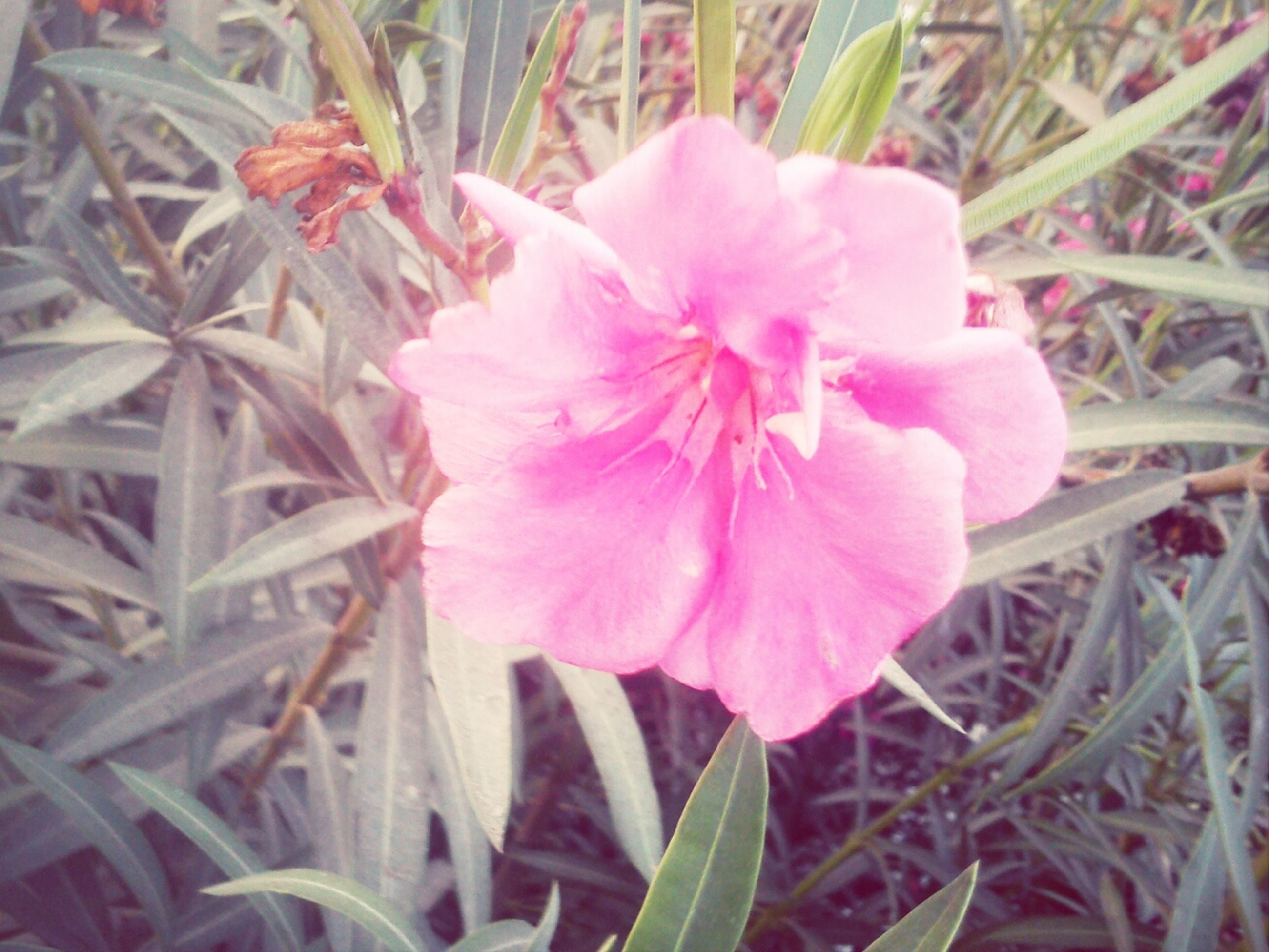 flower, freshness, growth, fragility, petal, pink color, flower head, close-up, beauty in nature, plant, nature, focus on foreground, blooming, in bloom, pink, outdoors, leaf, day, single flower, botany