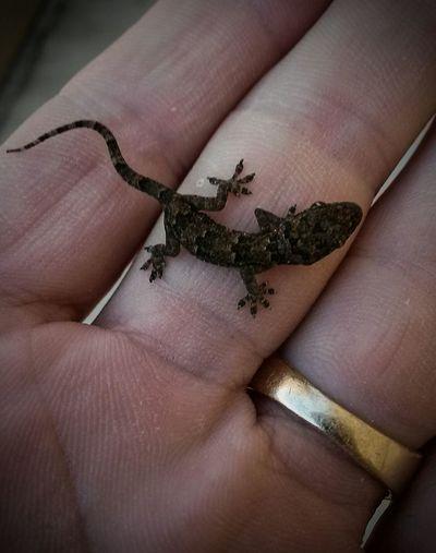 House Gecko Lucky