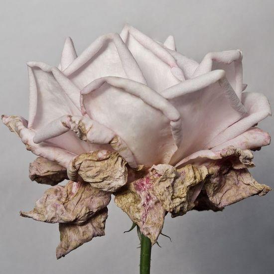Rose 🌹🌸🌹🌸