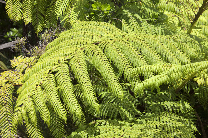 Tree Ferns - Northland, North Island, New Zealand Backgrounds Beauty In Nature Close-up Endemic Environment Fern Flora Forest Freshness Frond Green Color Green Color Growth High Angle View Lush Foliage New Zealand New Zealand Beauty New Zealand Scenery No People Outdoors Overgrown Plant Tree Tree Fern Tree Ferns