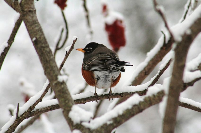 Robin American Robin Birds_n_branches Tree Winter Winter Trees Snow Covered Birds_collection Bird Photography Bird Snow ❄ Outdoor Pictures Outside Winter Landscape Wildlife Wildlife & Nature Nature EyeEm Nature Lover Cold Beautiful Nature Nature Photography Naturelovers Ohio Birds Of EyeEm  EyeEm Best Shots - Nature