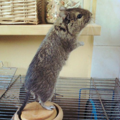 Degu Little Pet Animal Home Sad Eyes