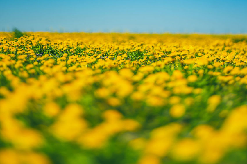 Dandelion field Agriculture Beauty In Nature Crop  Dandelion Field Farm Field Flower Flower Head Flowerbed Flowering Plant Fragility Freshness Growth Land Landscape Nature No People Outdoors Plant Rural Scene Selective Focus Sky Springtime Vulnerability  Yellow