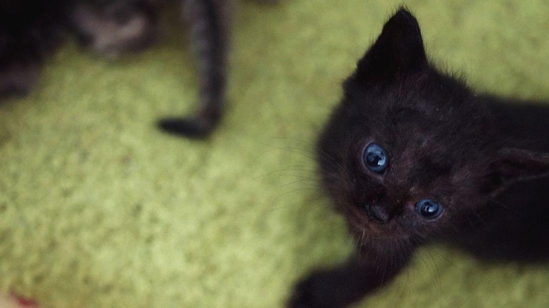 Cat Kitten Black Blue Eyes