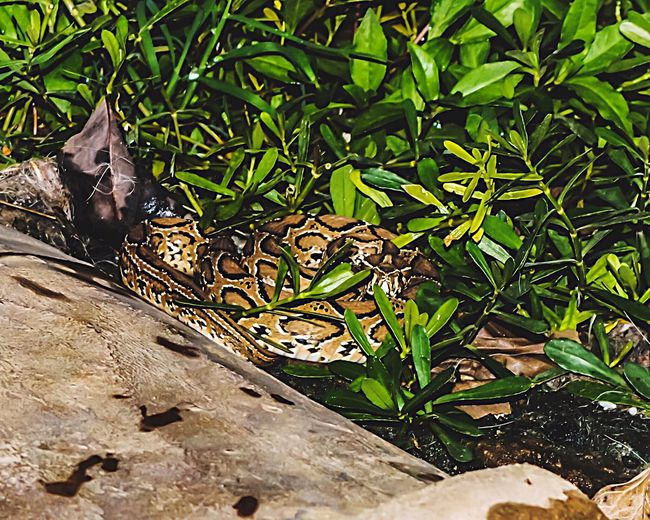 Outdoors Nature Beauty In Nature No People Green Color Nightphotography Snake My First Closeup Thrilling experience Viper