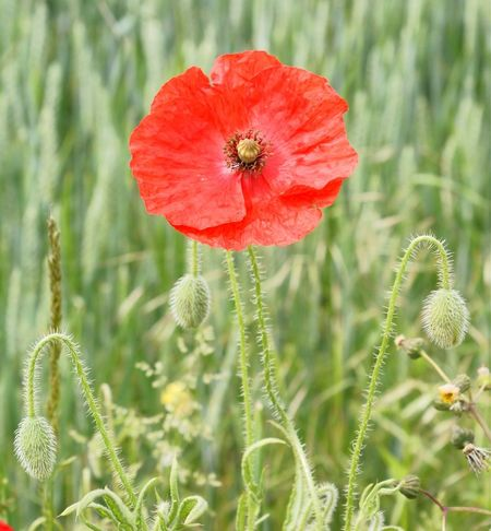 Flower Plant Nature Fragility Poppy Petal Flower Head Beauty In Nature Freshness Close-up Growth Uncultivated No People Focus On Foreground Wildflower Day Outdoors Red Green Color Summer
