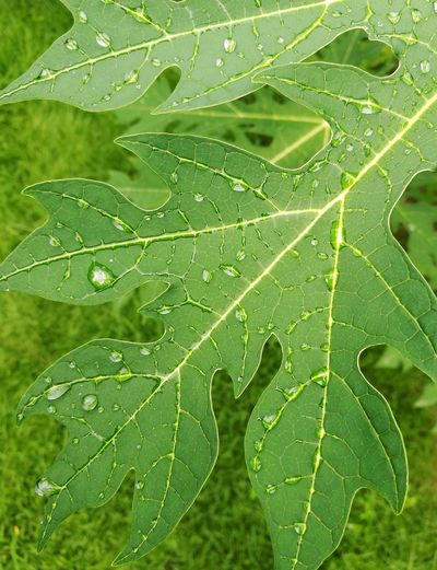 Water Leaf Backgrounds Drop Close-up Plant Green Color Leaf Vein Leaves Rainy Season RainDrop Water Drop Natural Pattern Wet Rainfall Rain