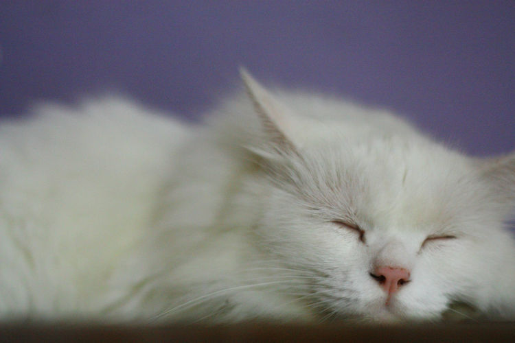 Studio shot of sleeping white cat