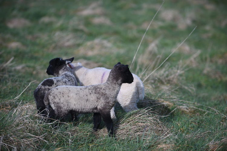 Animal Themes Animals In The Wild Day Domestic Animals Field Focus On Foreground Grass Grassy Lamb Lambs Livestock Mammal Nature No People One Animal Outdoors Relaxation Resting Sheep Two Animals Wildlife Young Animal