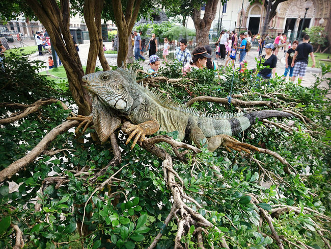 Tree Day Nature Sunlight Ecuador♥ Guayaquil, Ecuador Guayaquil - Ecuador Guayaquil City Tree One Animal Close-up Iguanas Reptile Nature