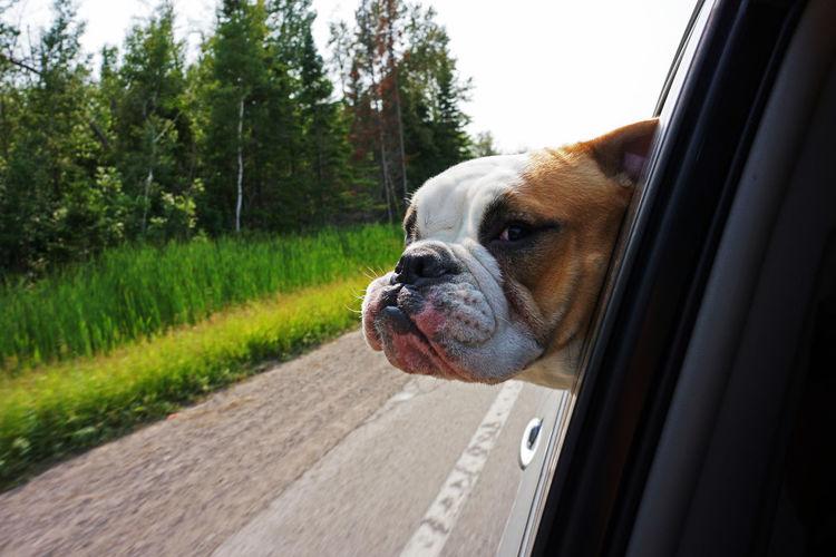 English bulldog looking through car window against trees