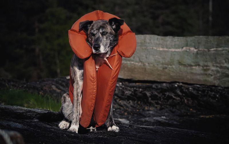 Dog wearing life jacket while sitting on rock