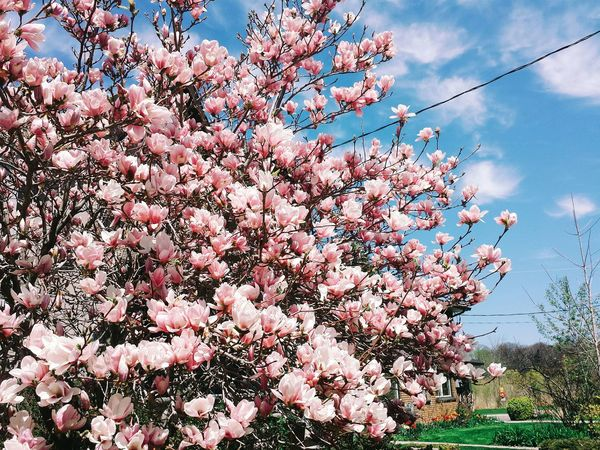 Magnolia Flowers Bloom Nature Plants Spring Colors Taking Photos The Great Outdoors - 2015 EyeEm Awards