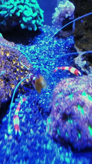 Shrimps Golden Boxer Shrimp Lps Coral Saltwater UnderSea Water Sea Life Underwater Blue Sea Multi Colored Close-up Animal Themes Fish Tank Aquarium Animals In Captivity Coral Reef Soft Coral