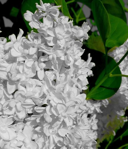 White Lilac Beauty In Nature Green Color