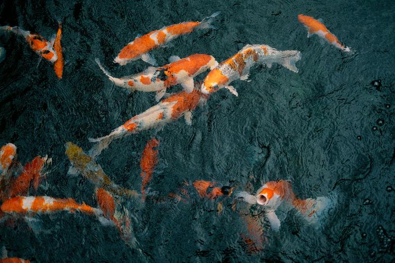 Animal Themes Close-up Day Fish Japanese Fish Nature No People Outdoors Sea Life Tokyo Tokyo Street Photography Tokyo,Japan