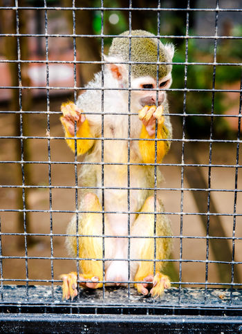 Squirrel Monkey in a cage Benalmádena, Malaga, Spain Prisoner Zoo Animal Themes Cage Caged Animals Close-up Cute Fence Mammal No People One Animal Outdoors Primate Prison Small Animal Squirrel Monkey Zoo Park