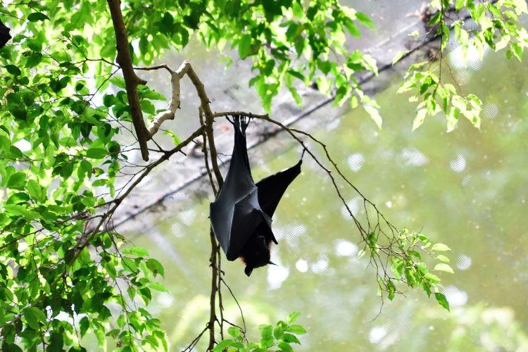 Wildlife and forestry Bat Animal Animal Themes Animal Wildlife Animals In The Wild Branch Day Focus On Foreground Green Color Growth Hanging Leaf Low Angle View Nature No People One Animal Outdoors Plant Plant Part Tree Vertebrate