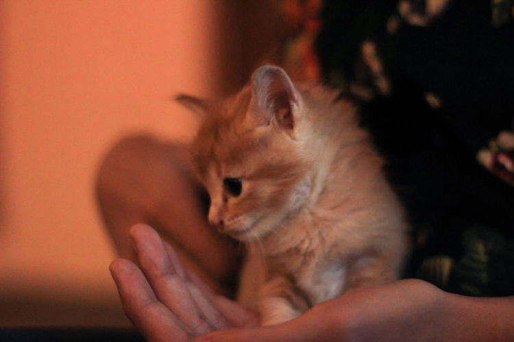 Pets One Animal Domestic Mammal Domestic Animals One Person Real People Human Hand Human Body Part Focus On Foreground Indoors  Vertebrate Hand Close-up Holding Rodent Lifestyles Pet Owner Small Care Finger