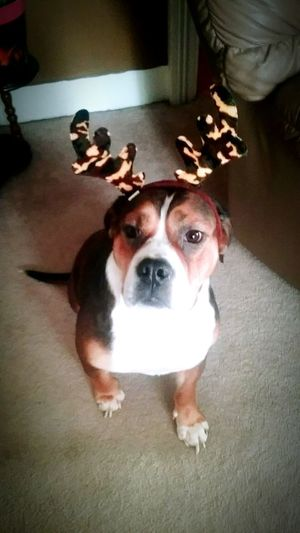 Pets Dog Domestic Animals Portrait Animal Themes Indoors  One Animal No People Dogs Antlers Reindeer