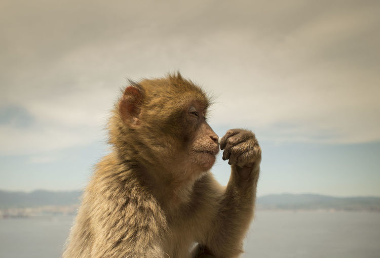 Animal Themes Animal Wildlife Animals In The Wild Ape Barbary Ape Barbary Macaques Day Gibraltar Macaque Mammal Monkey Nature No People Outdoors Sky Thinking Monkey Wild Ape Wild Monkey Wildlife