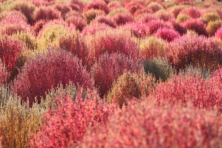 알록달록 색색이 예쁜 - 댑싸리 . . #하루한컷 #하늘공원 #댑싸리 #패턴 #가을 #5DMARK4 #새아빠백통 #EF70200F28LIIISUSM Flower Head Flower Tree Flowerbed Rural Scene Springtime Backgrounds Summer Field Red
