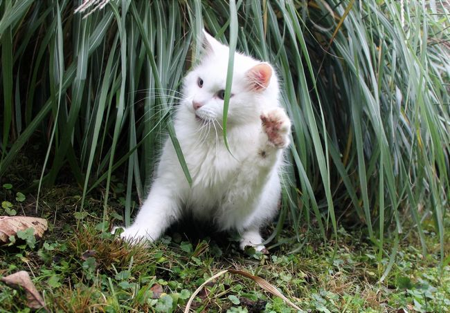Animal Themes Close-up Day Domestic Animals Domestic Cat Feline Grass Mammal Nature No People One Animal Outdoors Pets Playful Cat Sitting Whitecat